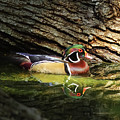 Wood Duck In Wood by Robert Frederick