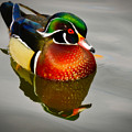 Wood Duck by Jane Selverstone