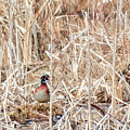 Wood Duck Mates 2018 by Bill Wakeley
