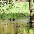 Wood Duck Mates by Debbie Oppermann