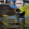 Wood Duck On Mill Creek by Jeff Phillippi