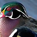 Wood Duck On The Delaware - 27fullsizerender by Christopher Plummer