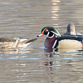 Wood Duck Pair by Judd Nathan