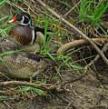 Wood Duck Pair by Robert Smice