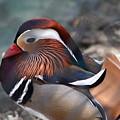 Wood Duck by Teresa Doran