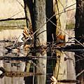 Wood Ducks by Debbie Oppermann