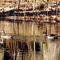 Wood Ducks Enjoying The Pond by Debbie Oppermann