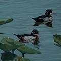 Wood Ducks On Lake Morton by Michael Nowak