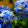 Wood Forget Me Not Blue Bunch by Ryan Kelly