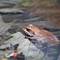 Wood Frog  by Adam Schneider