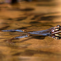 Wood Frog Reflecting On Golden Pond by Max Allen