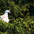 Wood Pigeon by Chris Day