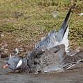 Wood Pigeon Washing by Bob Kemp