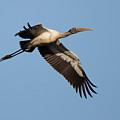 Wood Stork 1 by David F Hunter