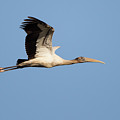 Wood Stork 2 by David F Hunter