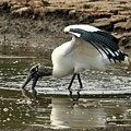 Wood Stork Fishing by Al Powell Photography USA