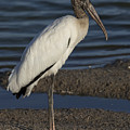 Wood Stork In The Final Light Of Day by David Watkins