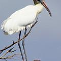 Wood Stork by Lori Pessin Lafargue