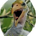 Wood Stork Nestling by Larry Linton