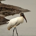 Wood Stork Walking by Al Powell Photography USA