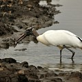 Wood Stork With Fish by Al Powell Photography USA