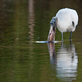 Wood Stork With Fish by Rodney Cammauf