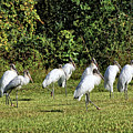 Wood Storks 2 - There Is Always One In A Crowd by John Trommer