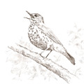 Wood Thrush by Abby McBride