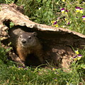 Woodchuck Ready For Spring by Myrna Bradshaw