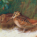Woodcock In The Undergrowth by Archibald Thorburn