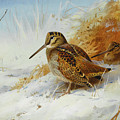 Woodcock In Winter By Thorburn by Archibald Thorburn
