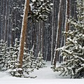 Woodland Snowstorm In Yellowstone by NaturesPix