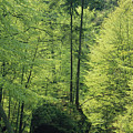 Woodland View With Stream, Sachsische by Norbert Rosing