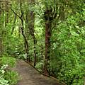 Woodland Walk by Cynthia Frohlich
