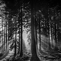 Woodland Walks Silver Rays B/w by Frank Etchells