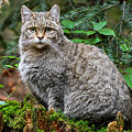 Woodland Wild Cat by Arterra Picture Library