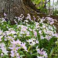 Woodlands Spring Beauty by Brook Burling