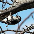 Woodpecker Beneath A Branch by William Selander