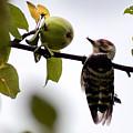 Woodpecker. Dendrocopos Minor by Svetlana Ledneva-Schukina