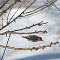 Woodpecker Diver by Russ L Busse