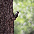 Woodpecker In New Mexico by Colleen Cornelius