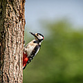 Woodpecker Pecking Wood by Framing Places