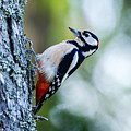 Woodpecker, The Great Spotted  by Torbjorn Swenelius