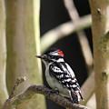 Downy Woodpecker by Trina Ansel