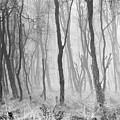 Woods In Mist, Stagshaw Common by Iain Duncan