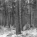 Woods In Winter, Slaley by Iain Duncan