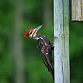 Woody Woodpecker by Linda Kerkau