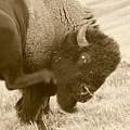 Woolly Itch ... Montana Art Photo by GiselaSchneider MontanaArtist