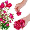 Worker Pick  Flowers Of Pink  Roses by Aleksandr Volkov