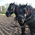 Working Percherons by Laurie With
